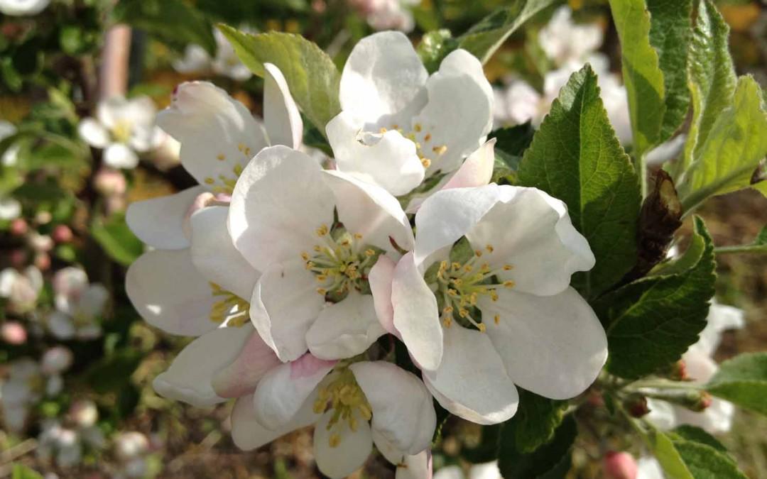 Äppelträden är i full blomning